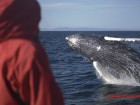 080611_humpback_jumping_in_front_of_passenger.jpg